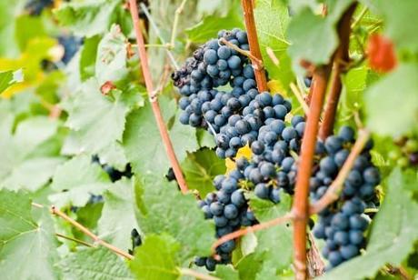 grow-grapes-indoors