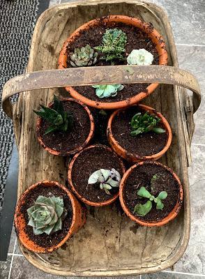 Plant review - Eddington House Nursery succulents
