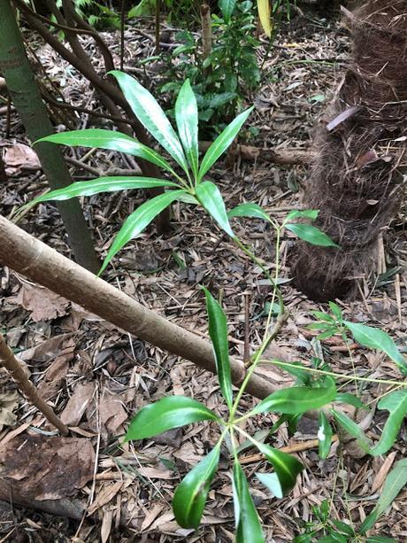 Garden Schefflera