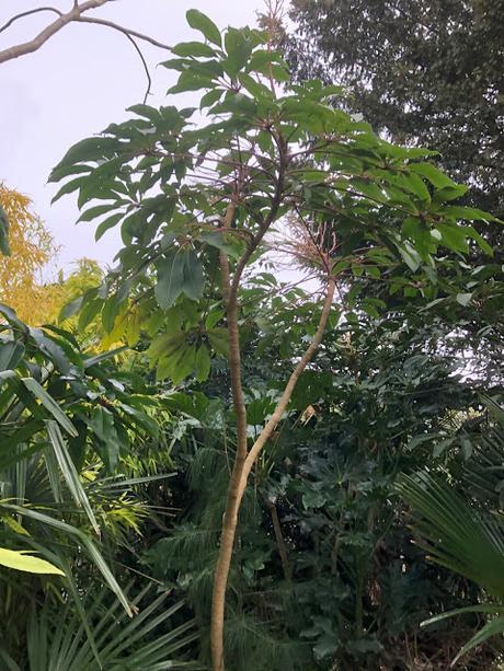 Schefflera kornasii
