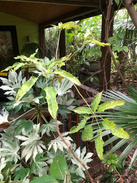Schefflera fantsipanensis