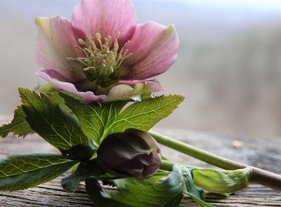 Hellebores Are Ready for Their Closeups--and a Winner!