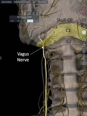 The Vagus Nerve, Part 2