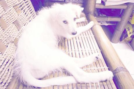My Japanese Spitz Is Experiencing Hair Loss Yahoo