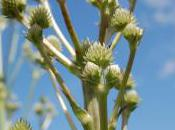 Plant Week: Eryngium Yuccifolium