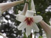 Plant Week: Cardiocrinum Giganteum