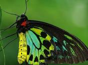 Diminishing Royalty: Queen Alexandra's Birdwing Butterfly