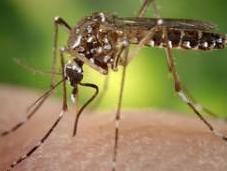 Evasive Dengue Fever Vaccine