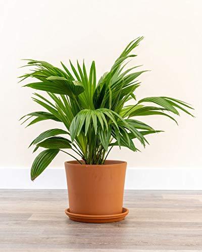 PlantVine Livistona chinensis, Chinese Fan Palm - Large - 8-10 Inch Pot (3 Gallon), Live Indoor Plant