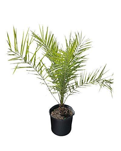 PlantVine Phoenix canariensis, Canary Island Date Palm, Pineapple Palm - Large - 8-10 Inch Pot (3 Gallon), Live Plant