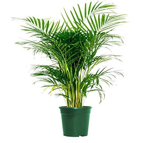 American Plant Exchange Areca Palm Indoor/Outdoor Air Purifier Live Plant, 6