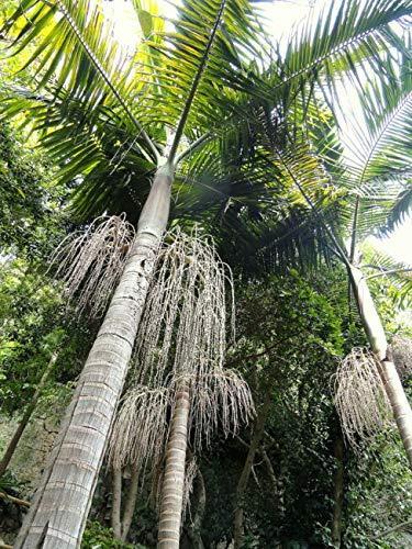 Archontophoenix Cunninghamiana Hardy King Palm 5 SẸẸDS