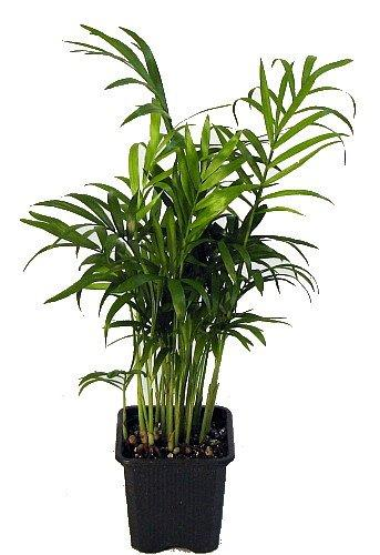 15 Low Maintenance Palm Trees For Your Home & Garden