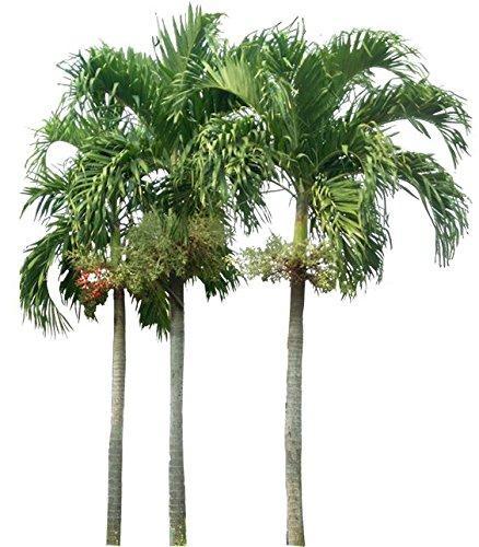 Foxtail Palm Starters - 1 Live Plant - 4