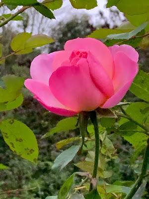 The rose garden in my imagination
