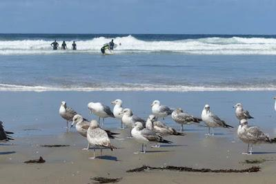 BIRDS, BEACH AND SUN: A Spring Weekend in La Jolla, CA, by Caroline Arnold at The Intrepid Tourist