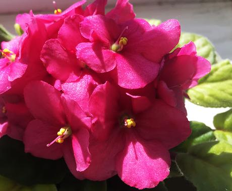 The Slowest Way to Kill Your African Violets