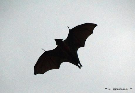 B a t s [yes bats] come flying to Triplicane