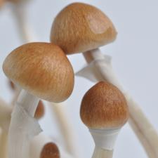 Cubensis Spores