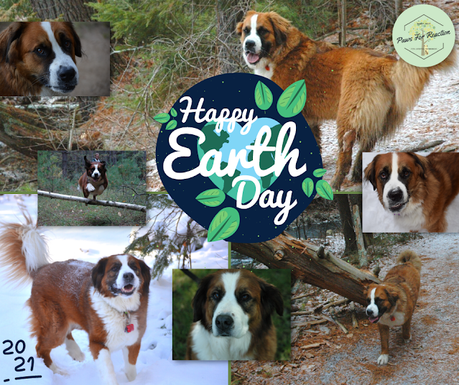 Earth Day 2021 Saint Bernese dogs Paws For Reaction