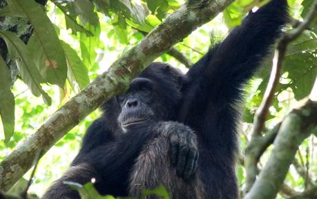 Pant hoots and knuckle prints – Chimp tracking in Kibale Forest