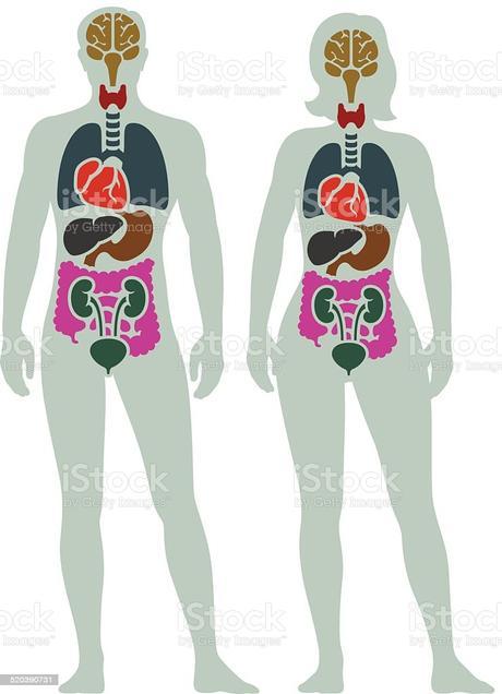 Human Internal Organ Diagram Stock Illustration - Download ...