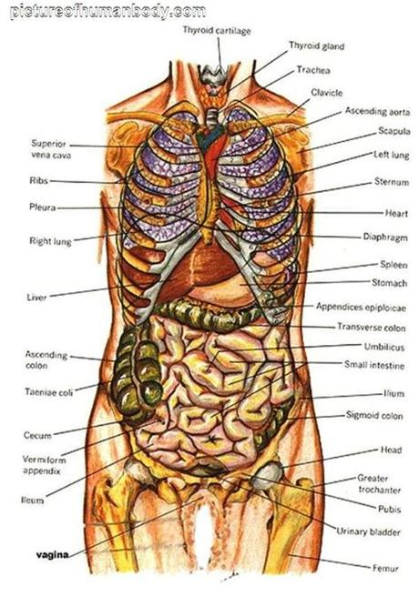 Nervous system , skeleton , front view of muscles , back view of muscles diagram of human body organs | Picture Of Body Organs ...