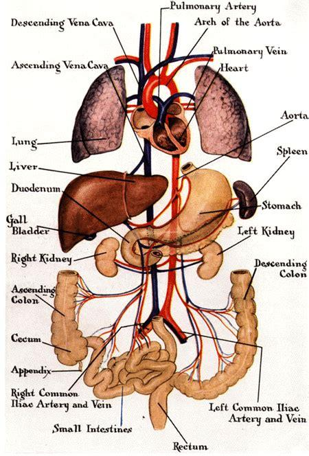 Wondering about the different organs on the right side of the human body? Funny Pictures Gallery: Organs, internal organs diagram ...