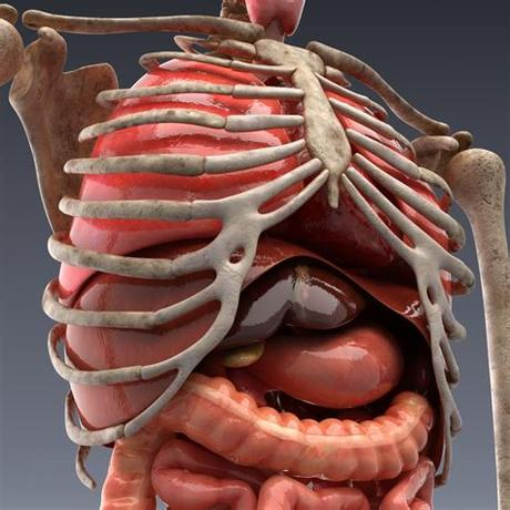 Typical of mammalian structure, the human body shows such characteristics as hair, mammary glands, and highly developed sense organs. Human anatomy: animated skeleton and internal organs 3d ...