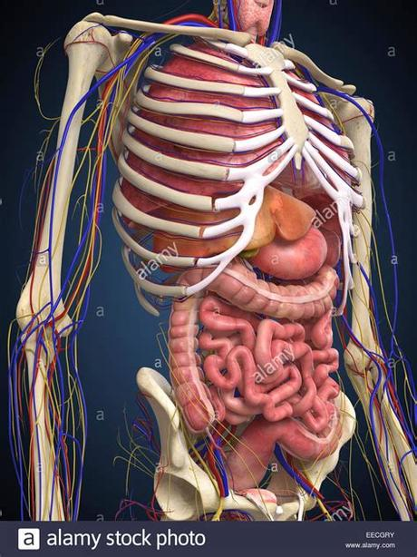 This diagram depicts human anatomy diagram of organs with parts and labels. Human midsection with internal organs Stock Photo, Royalty ...