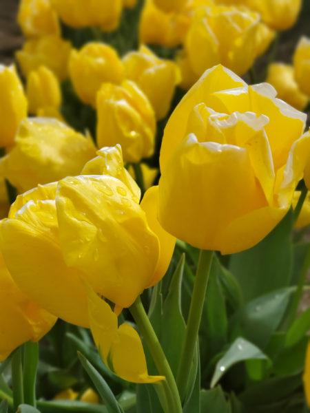 WoodenShoe Tulip Farm – Woodburn, Oregon