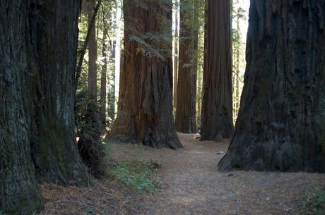 california, giant redwoods, tree