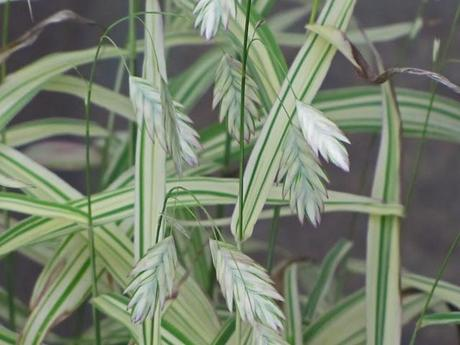 My favorite new plant of 2012 - Northern Sea Oats 'River Mist'