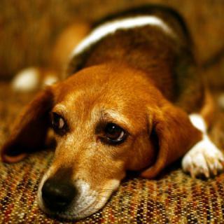 Sad Puppy Dog Eyes: Image by Martin Cathrae, Flickr