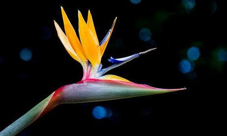 The Bird Of Paradise Without Wings