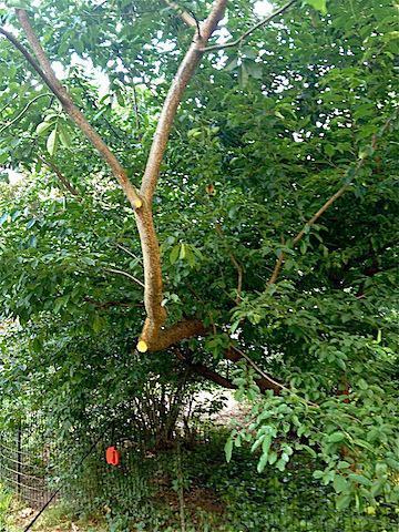 wild cherry tree.jpg
