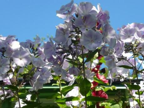 phlox plants in full flower with blue sky in the background