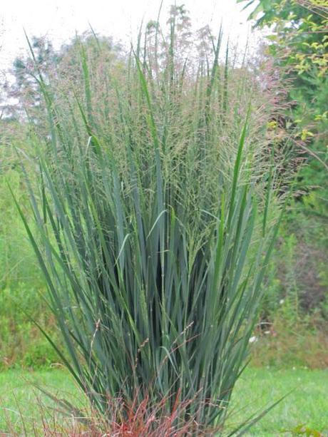 Ornamental grasses take the spotlight paperblog for Ornamental sea grass