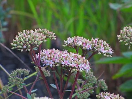 Sedum and weep