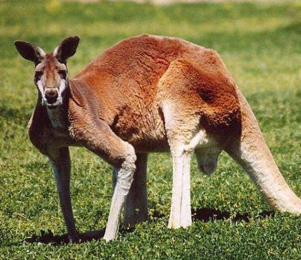 Kangaroo (Public Domain Image)
