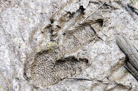 emu footprint in mud
