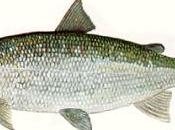 French Scientist Succeeds Calming Anxious With Whitefish Protein