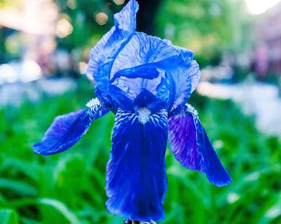 Street irises [11th Street flower beds, Hoboken, NJ]