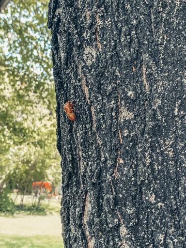 The Cicadas Are Coming! The Cicadas Are Coming!
