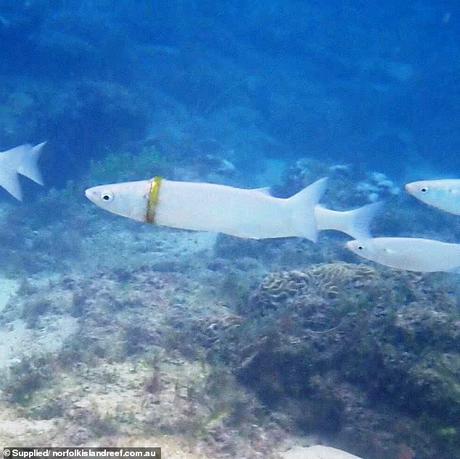 wedding ring found in fish in Australia ~ Abhijnanashakuntalam  repeats !!