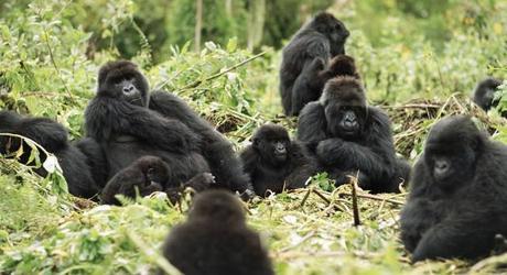 Enchanting Travels Rwanda Tours Gorillas in the wild - Rwanda travel guide