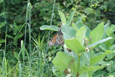Monarch Butterfly Eggs in My Garden