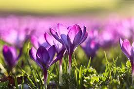 First spring flowers page 1 from 3 in hd quality. Spring Flower Pictures Download Free Images On Unsplash