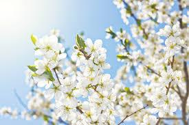 Are you searching for spring flowers png images or vector? Free Photo White Spring Flowers Abloom Shine Natural Free Download Jooinn