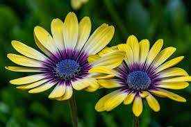 Flowers are one of the most attractive plants of nature. Daisy Flowers Hd Wallpapers New Tab Impressive Nature